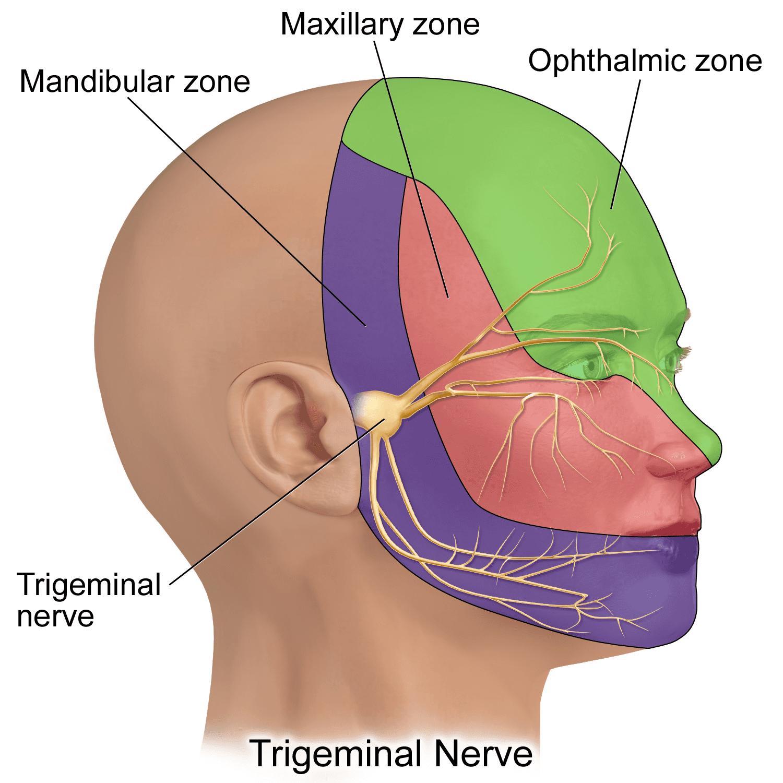 Cranial Facial Nerve - Trigeminal Nerve