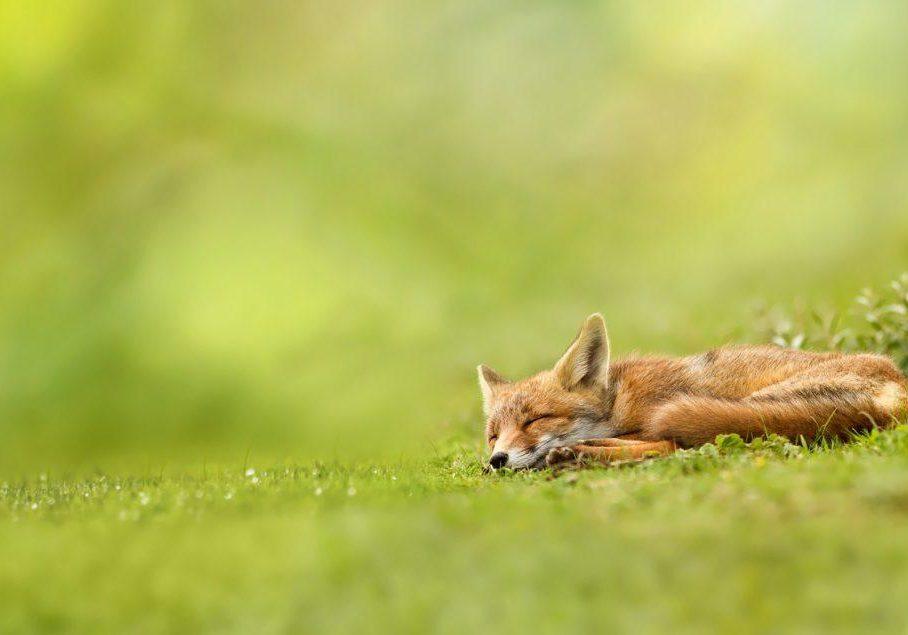 Sleeping Happy Fox
